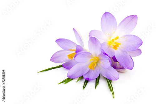 Foto op Plexiglas Krokussen crocus on white background - fresh spring flowers