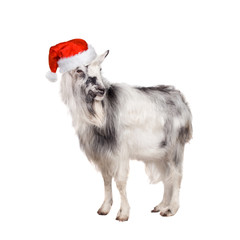 Portrait Of Goat in christmas hat On White