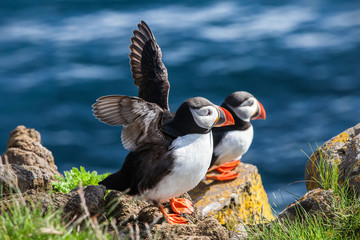 Pair of  puffins on a rock, Iceland