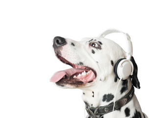 Charming dalmatian dog in headphones and collar.