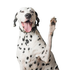 Dalmatian with tongue hanging out waves its paw.