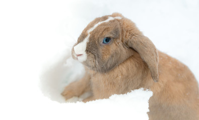 Funny cute rabbit with blue eyes sitting in snow.