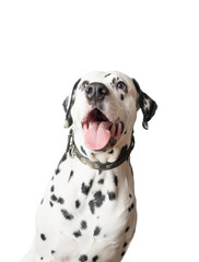 Funny dalmatian dog ​​with tongue hanging out.