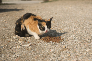 Tricolor eating cat