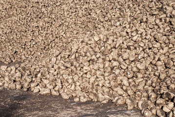 Pile of sugar beets