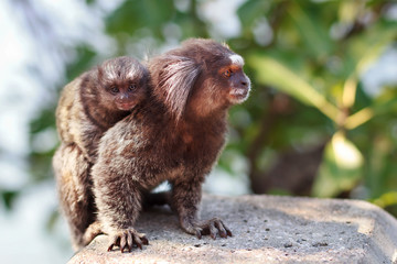 The common marmoset (Callithrix jacchus) White-eared female monk