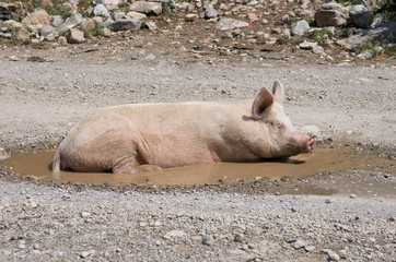 A Sow In A Puddle, Albania