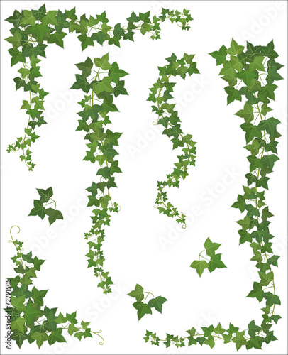 Set of Hanging branches of ivy on a white background - 72791505