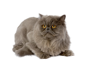 Beautiful Persian Cat With Amazing Yellow Eyes