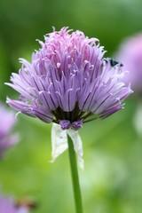Allium - Purple