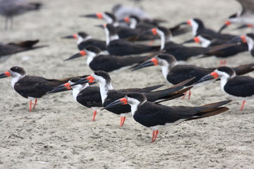 uccello rynchops becco a cesoie americano