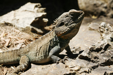 Australian Bearded Dragon Lizard