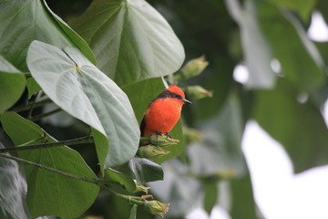 uccello pigliamosche vermiglio perù