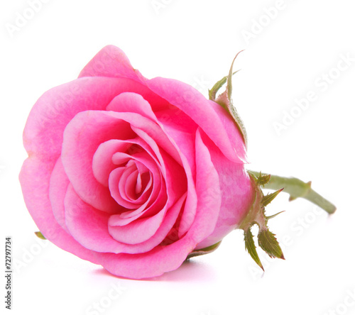 canvas print picture Pink rose flower head isolated on white background cutout