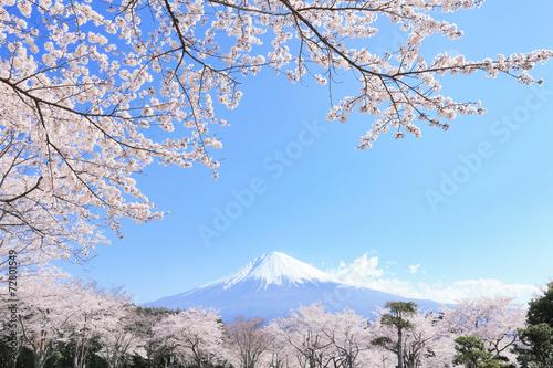 Fotobehang Kersen 富士山と桜