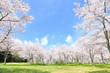 canvas print picture - 満開の桜