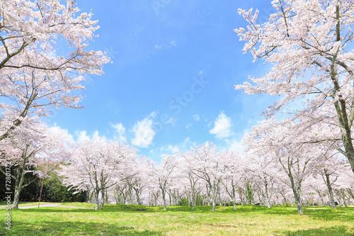 満開の桜 - 72801712