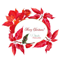 Background  with red Christmas poinsettia-01