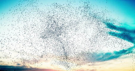 Flock of birds swarming against a sunset sky 4K