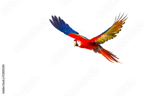 Colourful flying parrot isolated on white - 72805384
