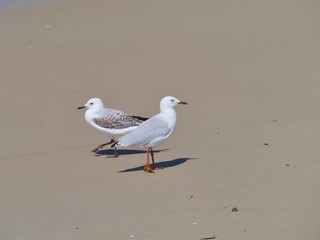 A young and an adult Silver gull on the beach