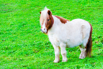 White chestnut pony horse in green grass field with copy space