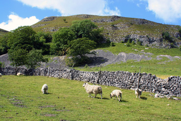 Sheep in Yorkshire Dales