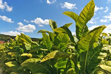 la campagna francese a Souillac - piantagione di Tabacco