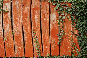 Ivy on the wood wall