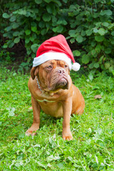 dog breed Dogue de Bordeaux dog
