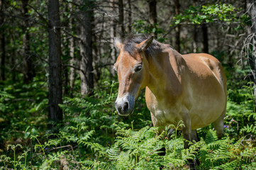 Almost wild - Gotland pony, the only semi-feral breed in Sweden