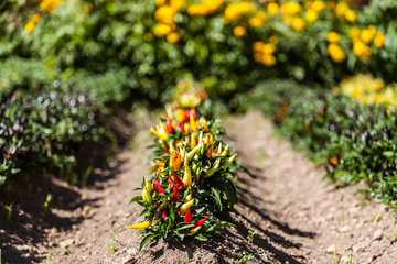 Hot peppers plant