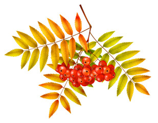 Isolated autumn rowan branch with leaves and berries