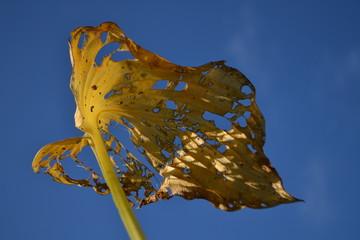 herfstblad hosta