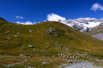Mountain Meadows with a Flock of Sheep in Swiss Alps (Valais)