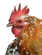Isolated portrait of rooster