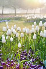 white tulips, Stromovka garden in Prague, Czech republic