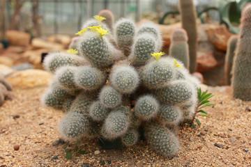 Blossom flower of cactus