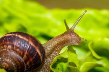 Snail [helix pomatia] eating and crawling on lettuce leaf