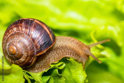 Leinwanddruck Bild Snail [helix pomatia] eating and crawling on lettuce leaf