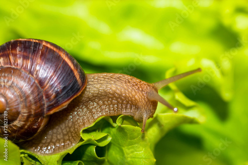 Snail [helix pomatia] eating and crawling on lettuce leaf - 72823789