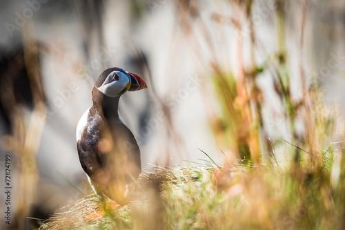 Puffin, cute bird in Iceland © ronnybas
