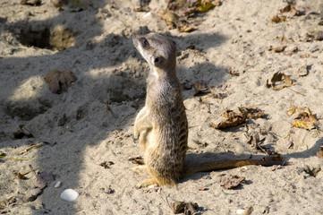 meerkats in the sand