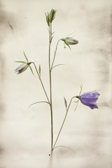 Bellflower isolated in nature with filter applied
