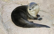Постер, плакат: A River Otter Dries Out on a Rock