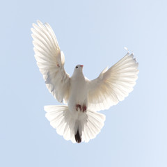 dove in flight in the sky