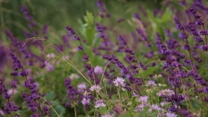 purple salvia in wild meadow