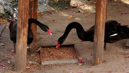 pair of black swans eat food