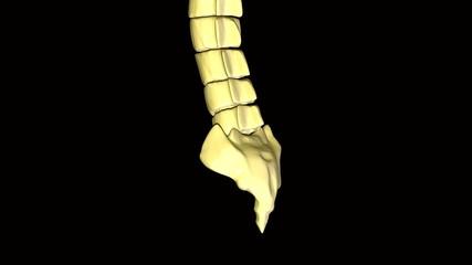 backbone spine