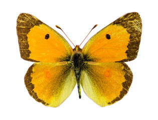 Common Clouded Yellow butterfly